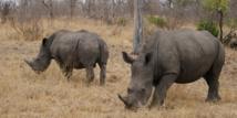 La technologie militaire au secours des rhinocéros du parc national Kruger, en Afrique du Sud
