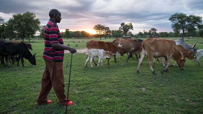 Tanzanie : le commerce de bétail passe au numérique