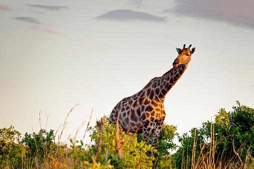 Zimbabwe : La technologie de reconnaissance faciale utilisée pour identifier les girafes